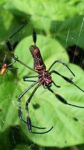 golden orb spider in its web. the male which is much smaller is to the left