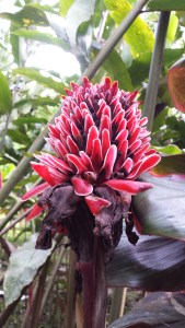 red flower which is oval shaped and has separate petals pointing upwards.