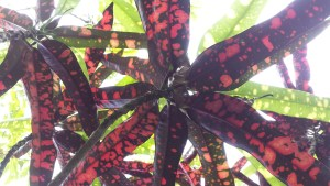 looking upwards through star shaped red spotted leaves.