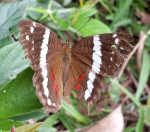 brown butterfly with white vertical stripe down the middle of each wing, smalle white dots on outer edge of wings and red spots on lower inner edge of wings