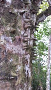 The Ceiba tree (pronounced sayba) is sacred to the Mayans and has sharp spikes all the way up the trunk