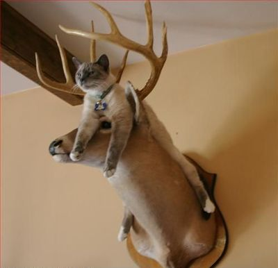 Cat on a moose