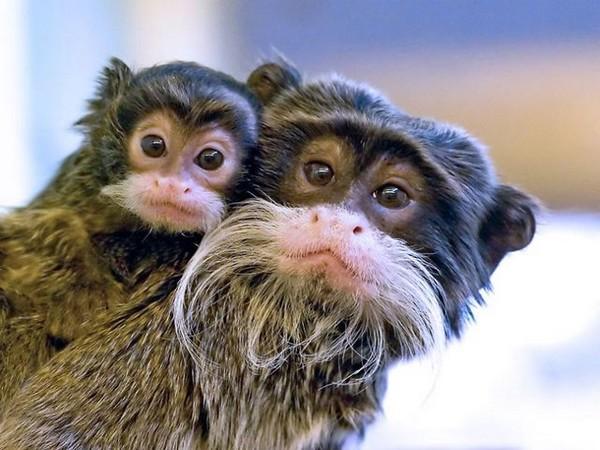 Bearded Monkeys