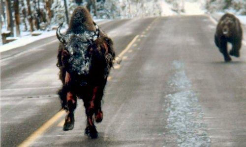 Bear_bison