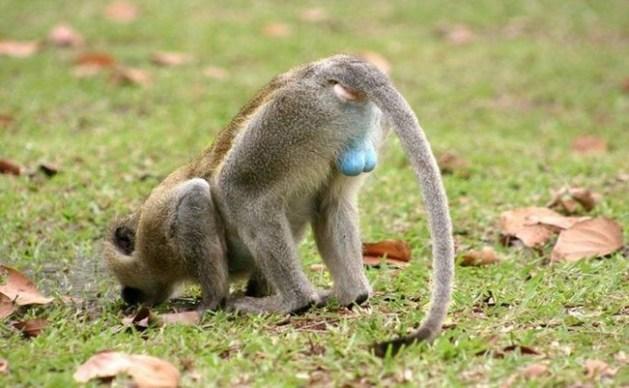 Blue balls monkey