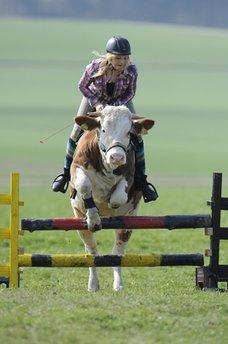 Cow turned pony