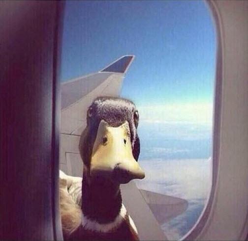 Duck on plane