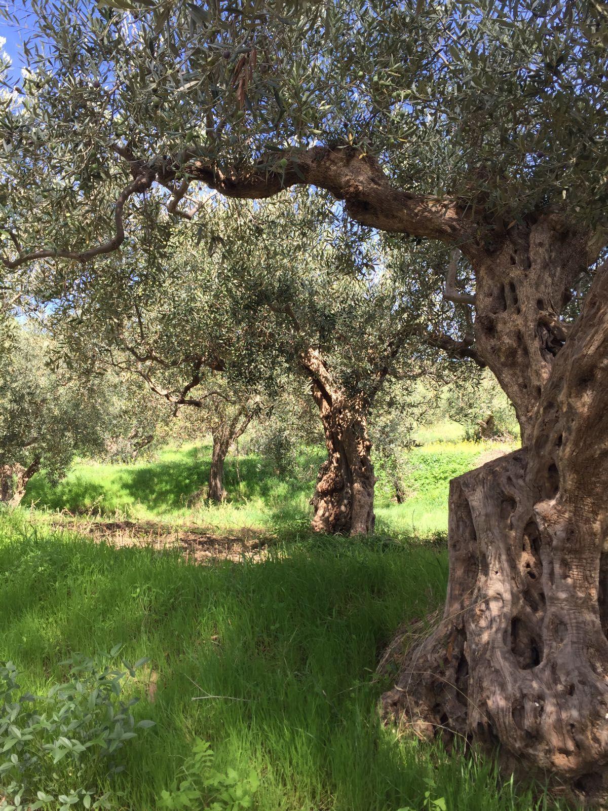 Ogglio Olive Oil | Bitten Oxford