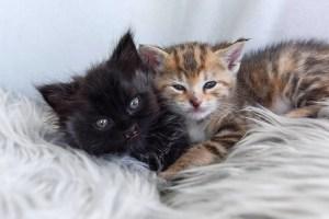 black kitten and torbie kitten