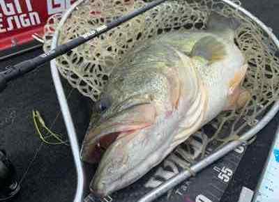9月11日琵琶湖ガイドは顔出しNGゲスト様で僕の釣果のみですが53㎝頭に釣れてます!