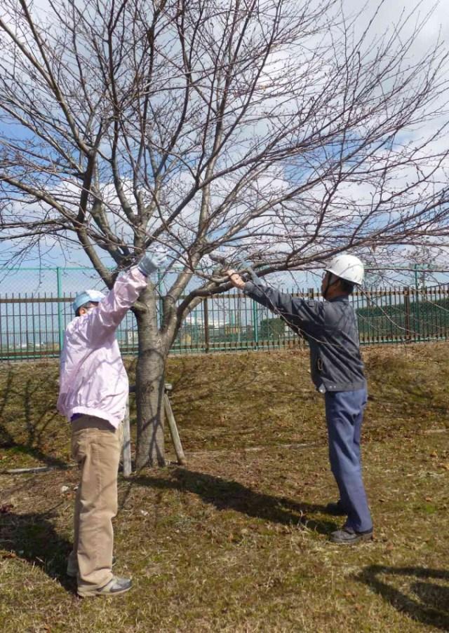 14,02,23桜の木枝木選定事業P1020004