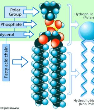 fosfolipit yapısı