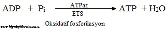 oksidatif sfosforilasyon