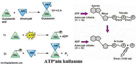 ATP'nin kullanışması