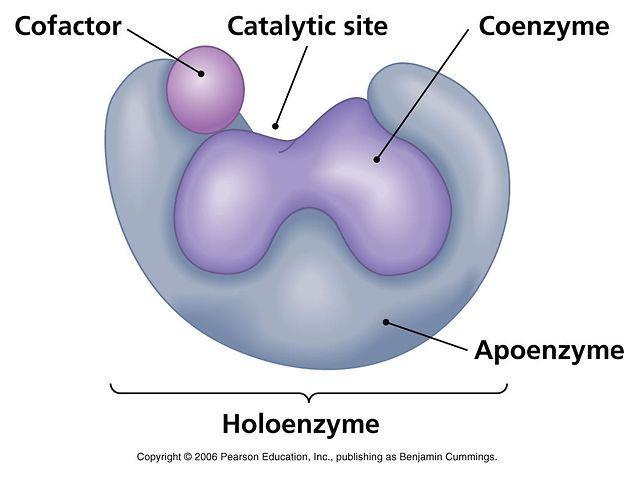 bileşik enzim holoenzim