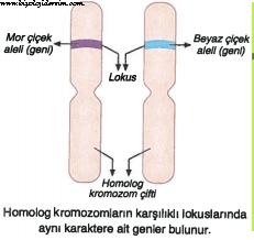 homolog kromozom nedir