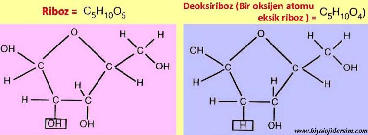 riboz ve deoksiriboz