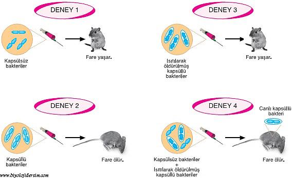 avery-oswald replikasyon deneyleri