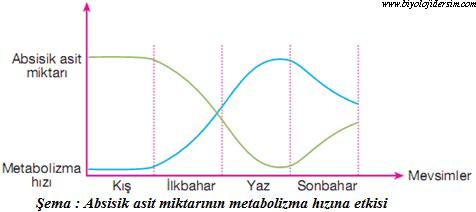 absisik asitin metabolizma hızına etkisi
