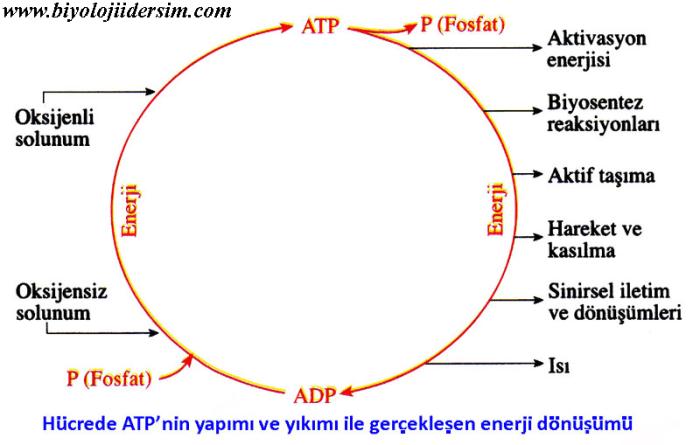 ATP metabolizması