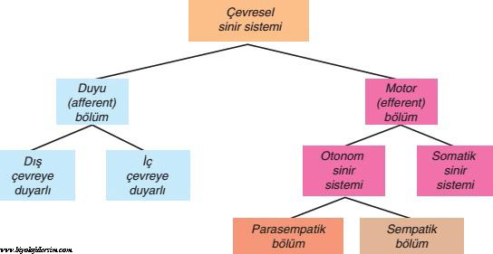 çevresel sinir sistemi şema