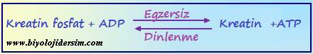 kreatinfosfattan enerji