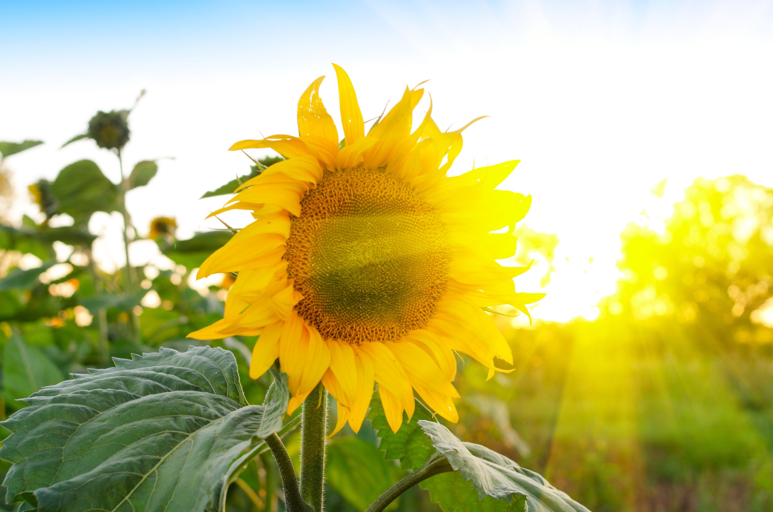 10477629 - beautiful sunflowers at field with blue sky and sunburst