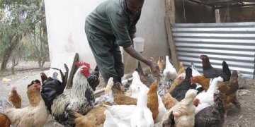 Chicken Breeds in Kenya