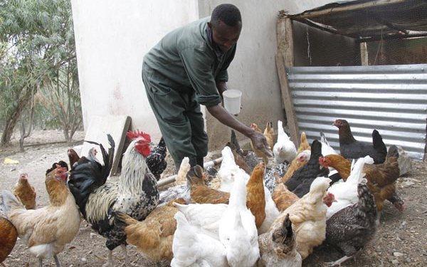 Chicken Breeds in Kenya