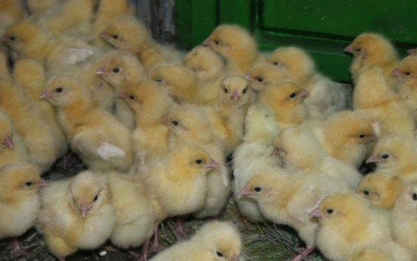 Chicken Farming Profit Margin