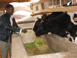maximize milk production