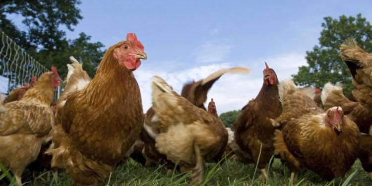 Chicken farming - Bizna