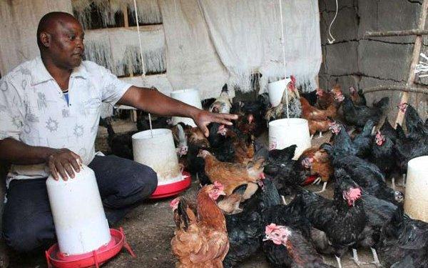 Best Chicken Breeds in Kenya
