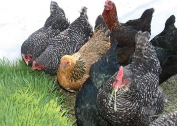 How I use hydroponics to feed my 700 chicken and guinea fowls