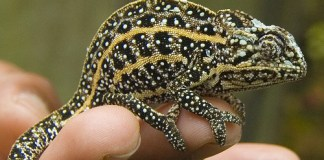 chameleon farming