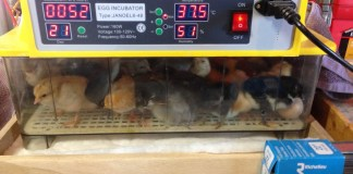 Chicks hatching in an incubator