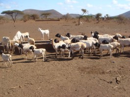 Sheep during dry season