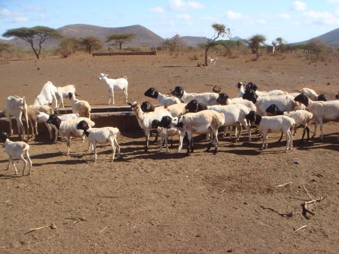 Sheep during dry season