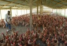 Poultry Farm Kenya