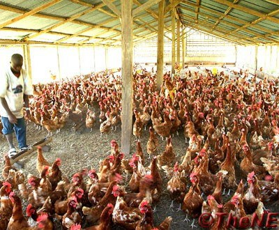 Kano Poultry Farmers Suffer N500 million Loss From Bird Flu