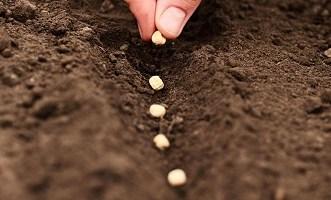 Beans Planting