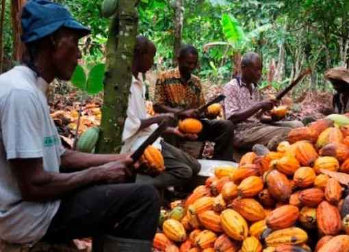 Cocoa Business Blossoms In Ivorian Village