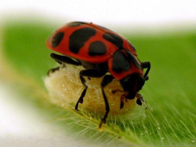 ladybug-cocoon-110621