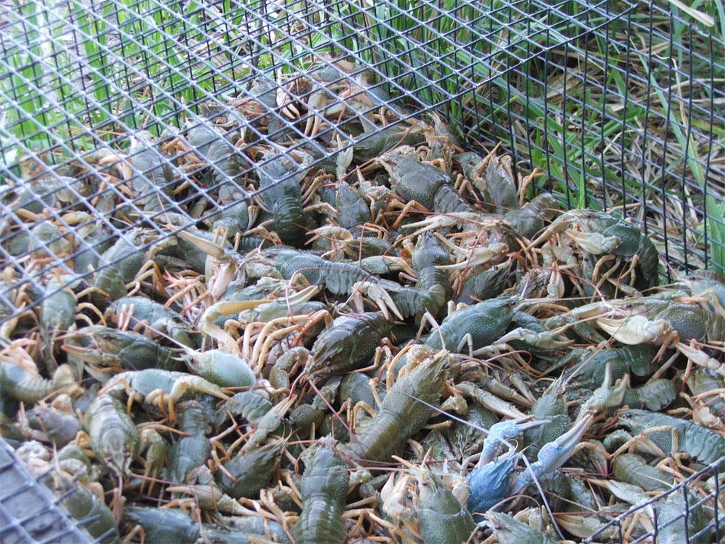 Розведення раків на продаж