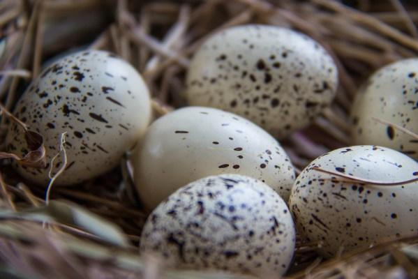 oeufs d'ostara pour celebrer l'equinoxe de printemps