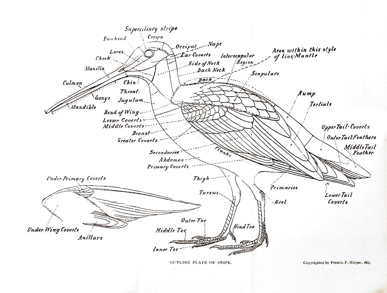 Skriv En Fugl