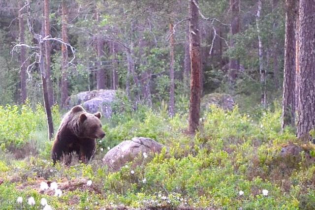 Midsommarbjörn