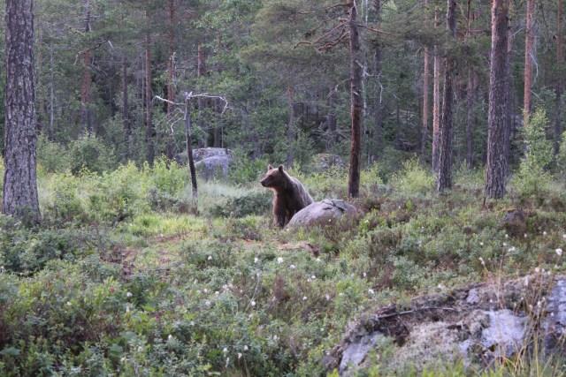 Björnsafaripaket