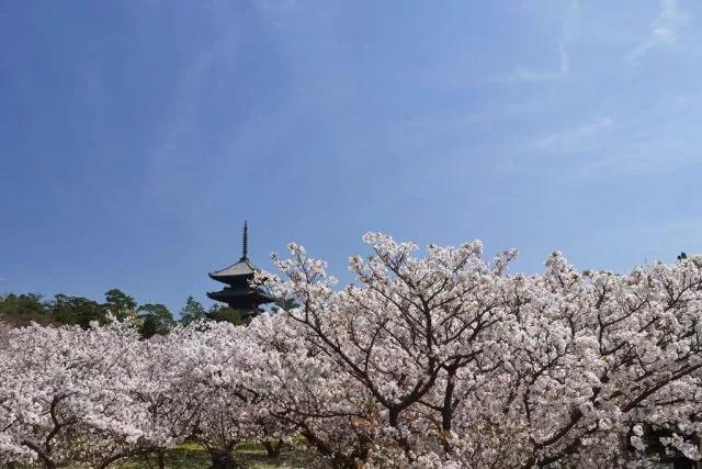 京都絶景撮影スポット⑨一面ピンク色!御室仁和寺