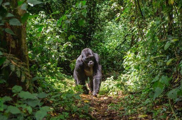 Sud-Kivu :  Un groupe de cinq personnes ont tué et mangé la chair d'un gorille.